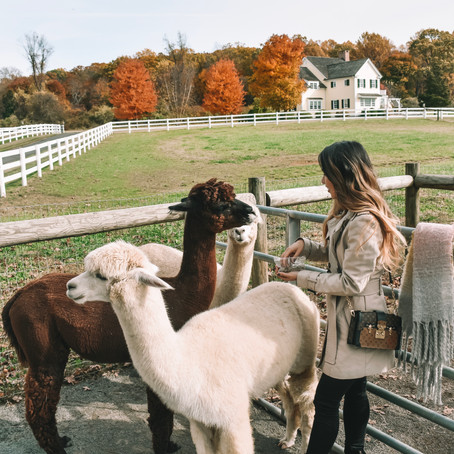 An Alpaca-Filled Autumn: Day Trip Idea from NYC!