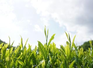 令和元年5月18日(大安)新茶製造開始致しました。