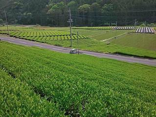2020/06/03 奥久慈茶の特徴
