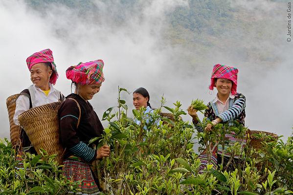 Hmong-Tea-Pluckers_15_Jardins-de-Gaia_bd