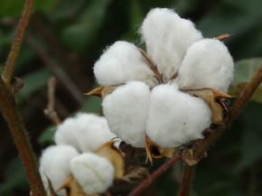 Exploring Latin American native cotton