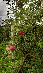 pomme tardive