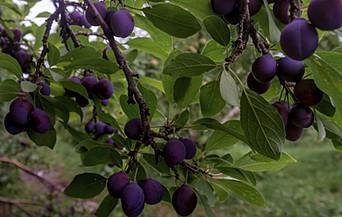 prune bleue