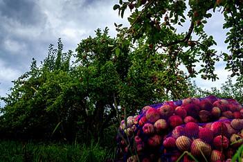 pomme a chevreuil