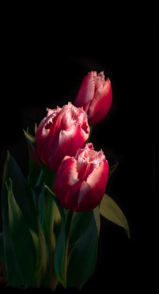 Tulips8x15