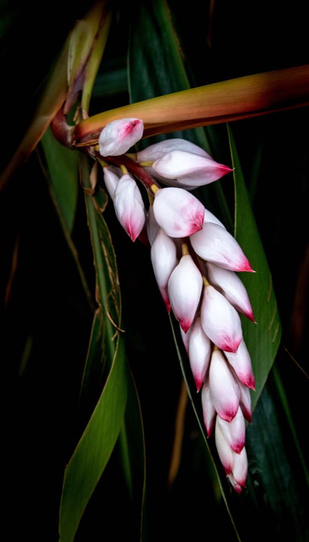 Shell Ginger Paleaku Gardens.jpg