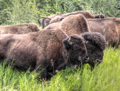 Bison 3_tonemapped.jpg