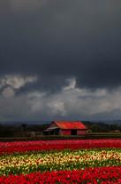 Rainy Day Tulips