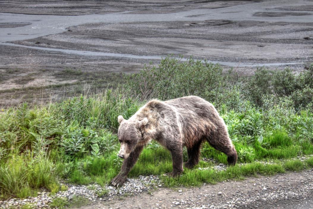 Denali grizzly bear 4_tonemapped.jpg