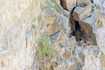 Výr skalný - Bubo bubo