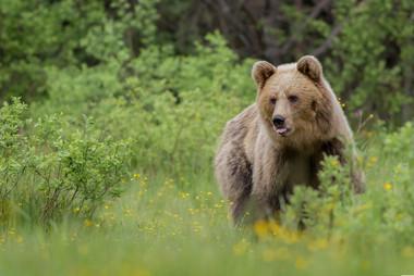 Medveď hnedý - Ursus arctos