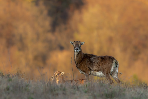 Muflón lesný - Ovis musimon