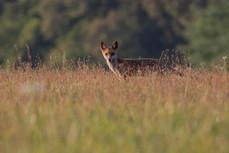 Líška hrdzavá - Vulpes vulpes