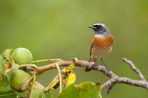 Žltochvost lesný - Phoenicurus phoenicurus