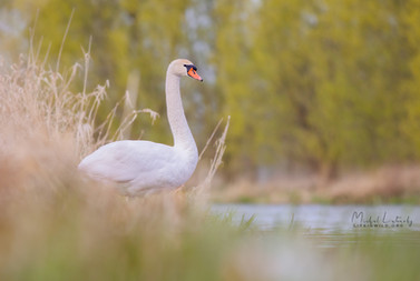 Labuť hrbozobá - Cygnus olor