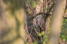 Sova dlhochvostá - Strix uralensis