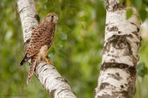 Sokol myšiar - Falco tinnunculus