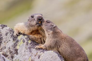 Svišť vrchovský tatranský - Marmota marmota