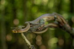 Užovka stromová - Zamenis longissimus
