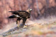 Orol skalný - Aquila chrysaetos