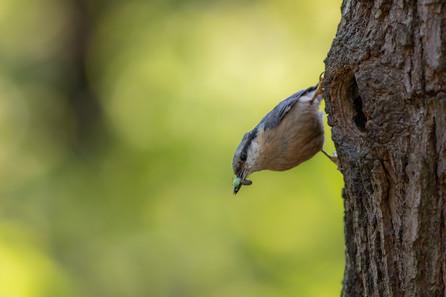 Brhlík lesný - Sitta europaea