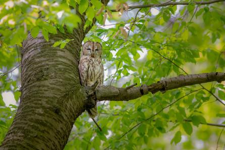 Sova lesná - Strix aluco