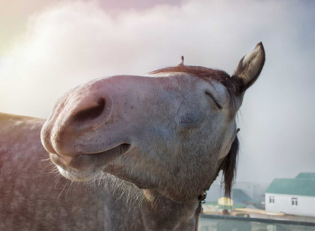 Happiness is a Well-adjusted Horse, Chiropractors Say