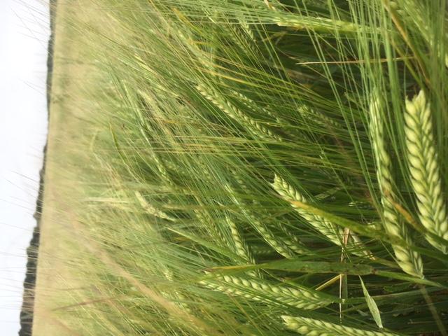 barley 5