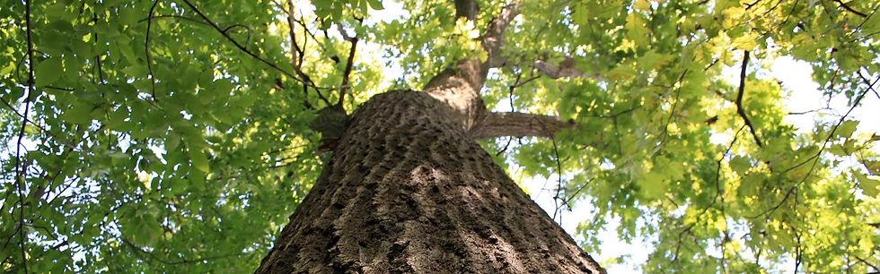 giant-oak.jpg