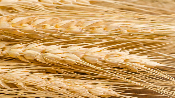 sheaves-barley-1598x900.jpg