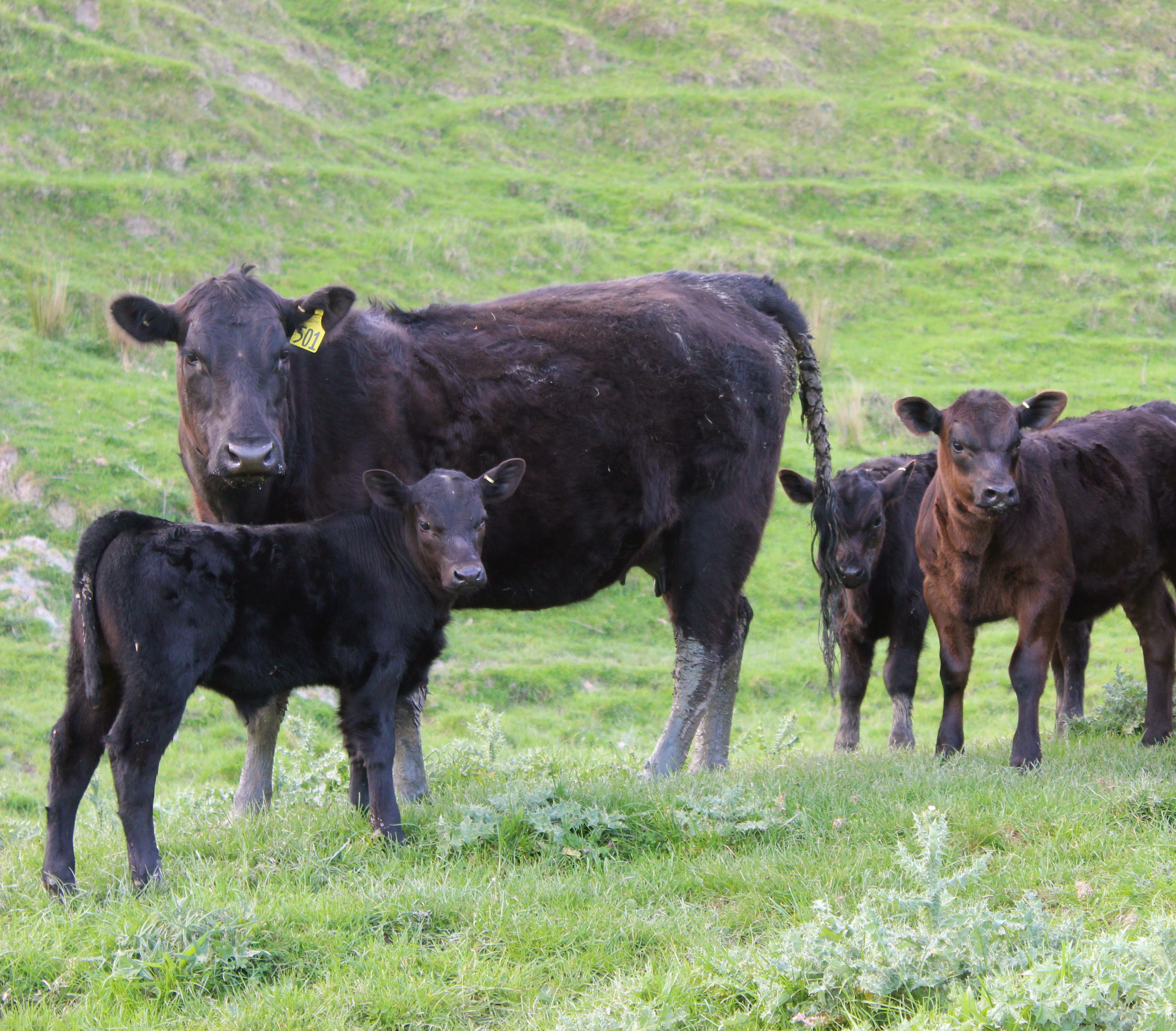 2 yr old heifer and calf