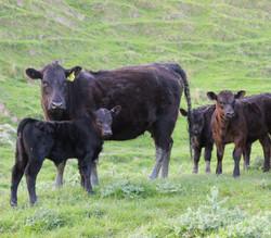 2 yr old heifer and calf