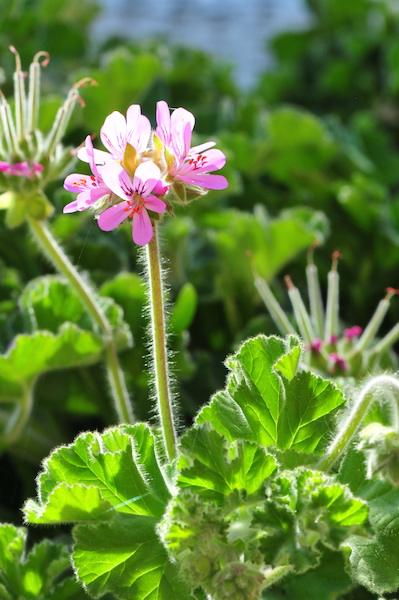 Pelargonium capitatum 3