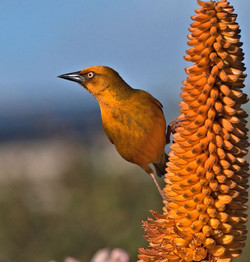 Cape Weaver May 2014