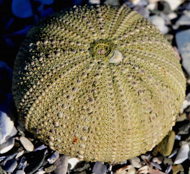 Parechinus angulosus 3