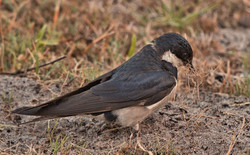 White-throated Swallow 3