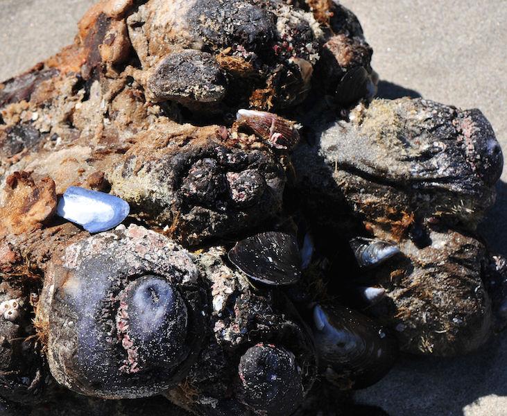 Pyura stolonifera (lump of red bait)