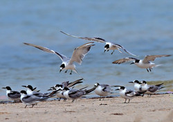 Common Tern Zeeberg