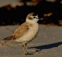 Whitefronted Plover