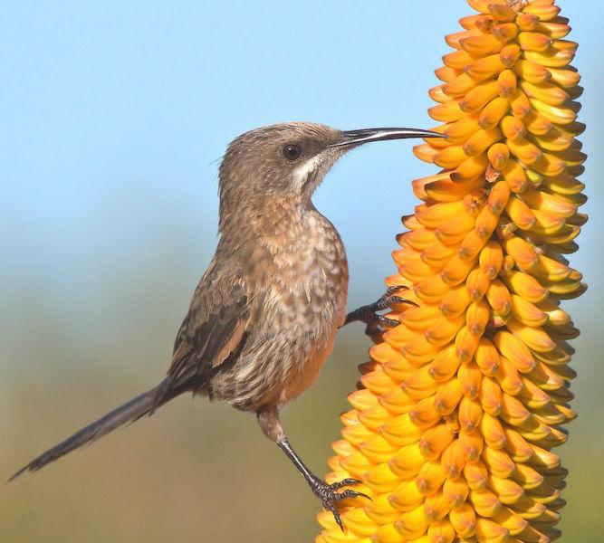 Cape Sugarbird Female