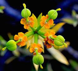 Euphorbia mauritanica Adjusted