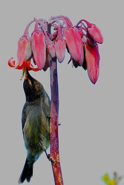 Tylecodon orbicularis 2