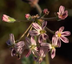 Pelargonium triste 2