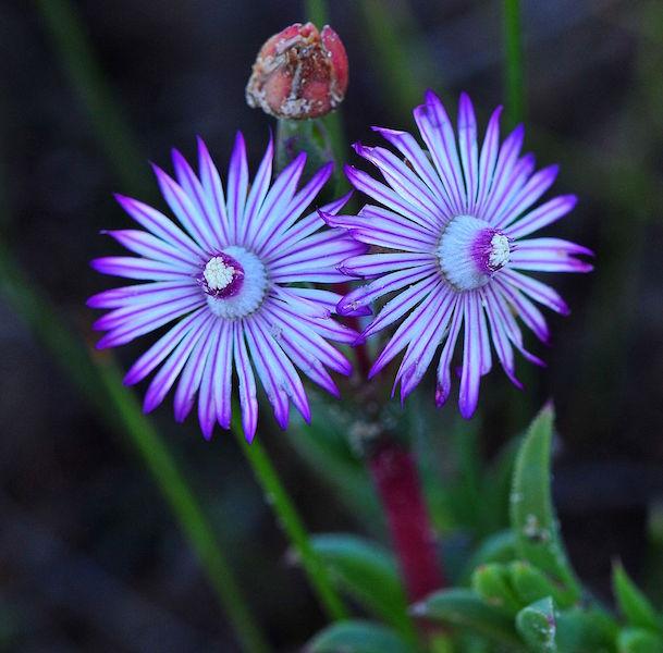 Ruschia diversifolium 2