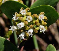 Cynanchum obtusifolium