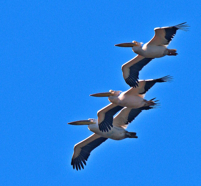 Pelicans Flying