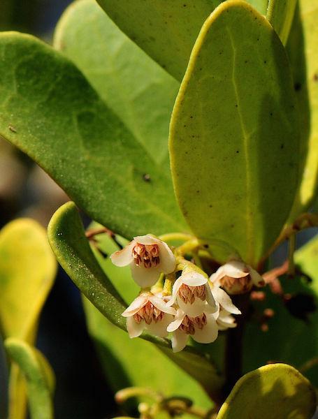 Euclea racemosa