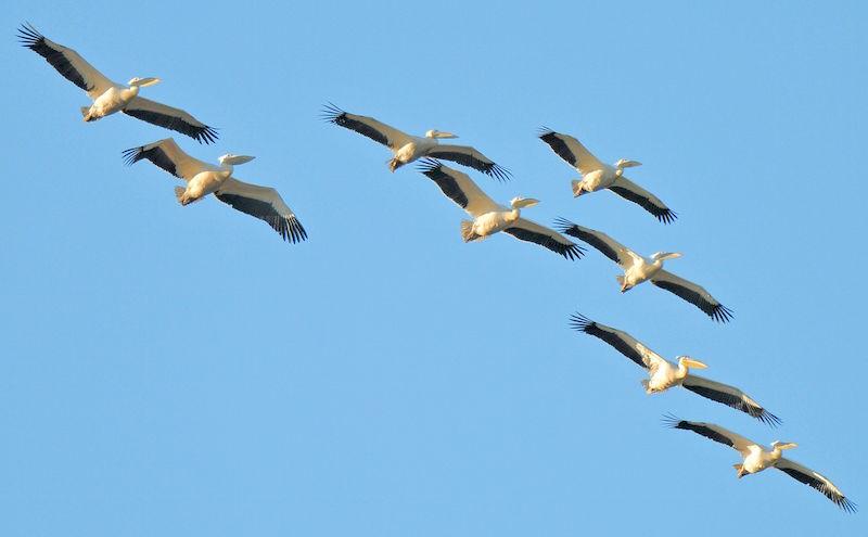 Pelicans Mud River
