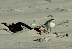 Whitefronted Plover Mud River