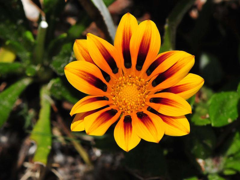 Gazania Garden plant